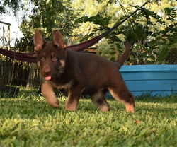 chocolate liver german shepherd puppy fo
