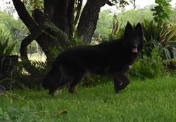dark long coat german shepherds