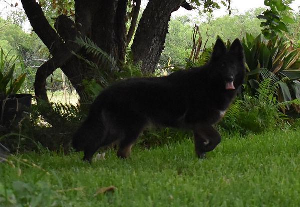 longcoat dark german shepherd