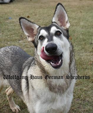 wolfgang Haus Parisia silver sable wolf mask german shepherd.jpg