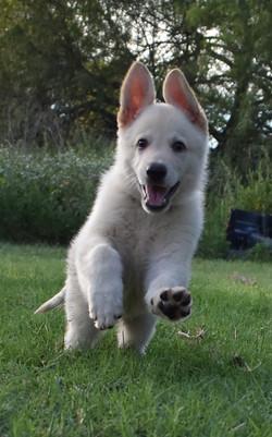 white champagne large german shepherd puppy