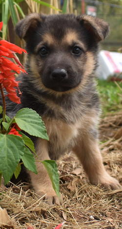 black and red large german shepherd puppy for sale in tx