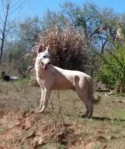 old fashioned white Rin Tin Tin German shepherd Tx. wolfgang haus german shepher