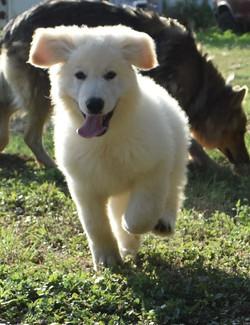 white long coated german shepherd puppy