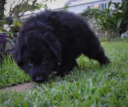 solid black long coat german shepherd puppy (1)
