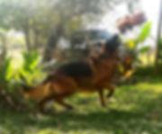 texas akc black and red german shepherd