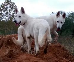 extra large white german shepherds for sale san antonio tx.jpg