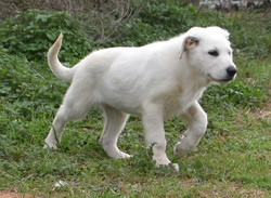 extra large white german shepherd puppy