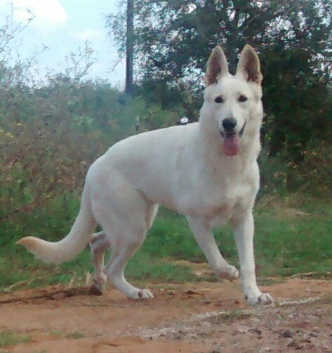 large white female german shepherd for sale san antonio texas.jpg