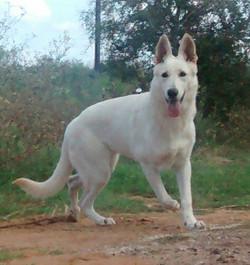large white female german shepherd for sale san antonio texas.jpg
