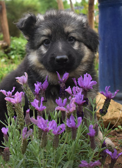 black and silver long coat german shepherd puppy for sale in texas