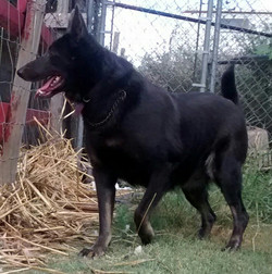 blue bicolored german shepherd in Texas, wolfgang haus german shepherds san antonio TX.jpg