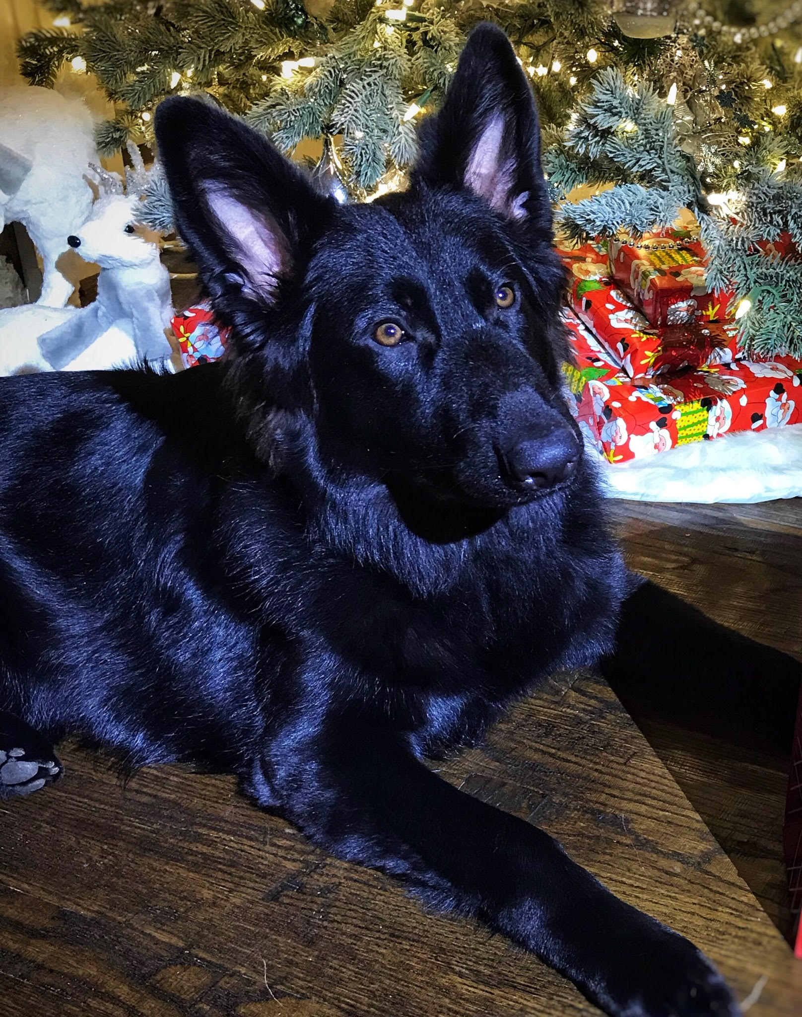 kyra brahm and  storm solid black long coat german shepherd
