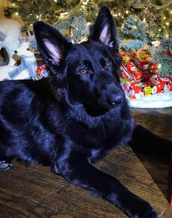 kyra brahm and  storm solid black long coat german shepherd