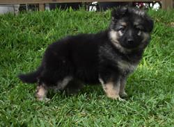 Brahm and Prada long coat black and cream german shepherd puppy, german shepherd puppy for sale in t