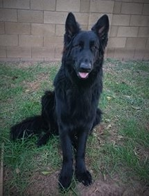Storm and Brahm Solid black long coat male german shepherd