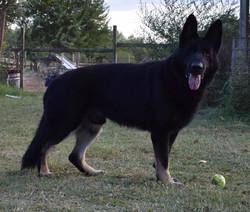 extra large giant bicolor german shepher