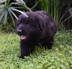 Kattleya and Brahm solid black long coat german shepherd, wolfgang haus german shepherds (2)