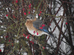 Bluebird In The Barberry