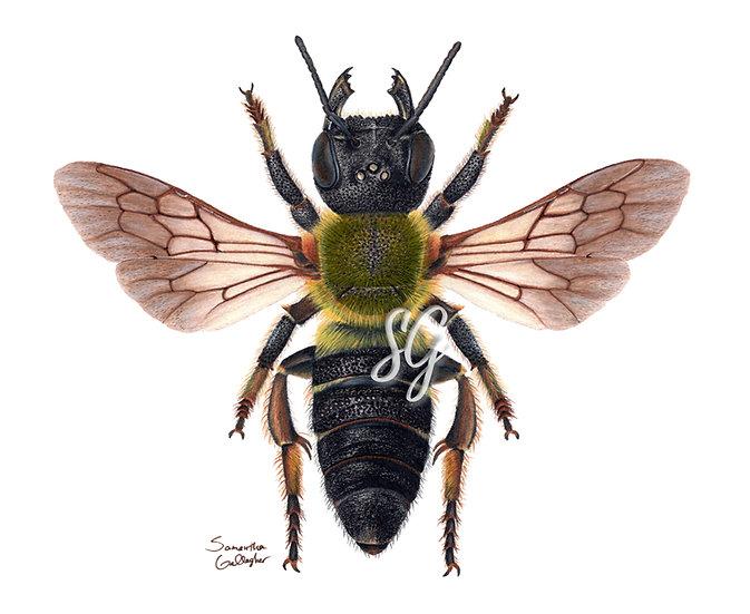 "Megachile sculpturalis 8""x10"" Print"