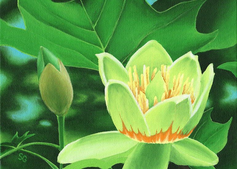 "Tulip Tree Blossom 2  8""x10"" Print"