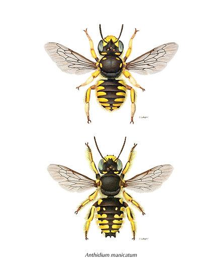"""Anthidium manicatum male and female 8""""x10"""" Print"""