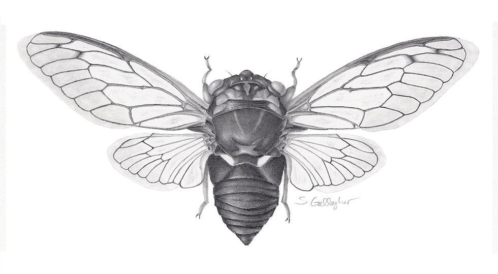 """Cicada- Neotibicen tibicen 8""""x10"""" B&W Print"""