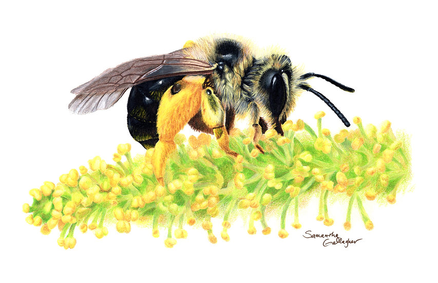 "Mining Bee on Willow 8""x10"" Print"