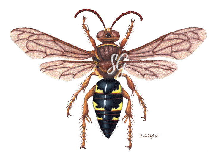 "Cicada Killer Color 8""x10"" Print"