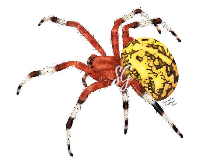 """Pumpkin Spider- Marbled Orb Weaver 8""""x10"""" Print"""