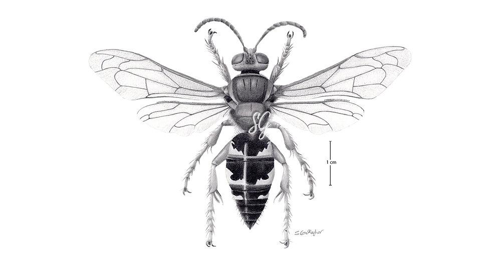 "Cicada Killer B&W 8""x10"" Print"