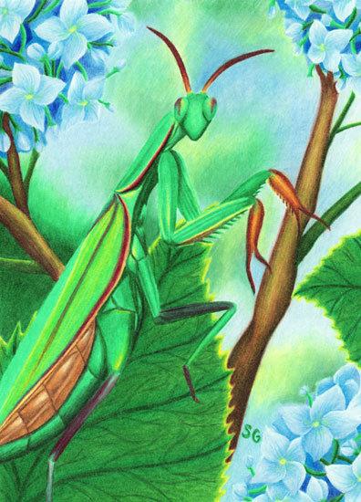 "Mantis and Hydrangeas 8""x10"" Print"