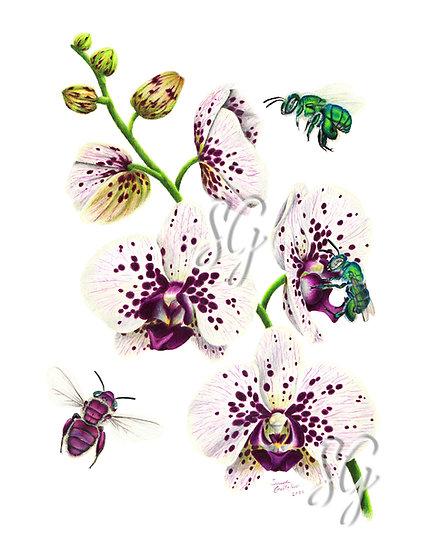 "Euglossa and Phalaenopsis 8""x10"" Print"