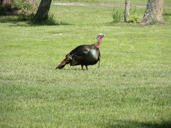 Ranch Gary the Turkey