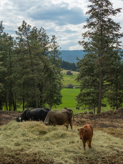 Ranch Cows at Dinner