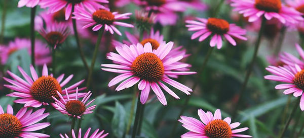 Echinacea-Uses_HEADER.jpg