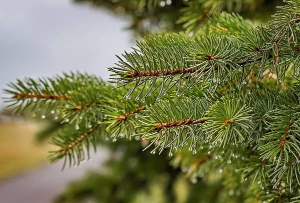benefici del pino
