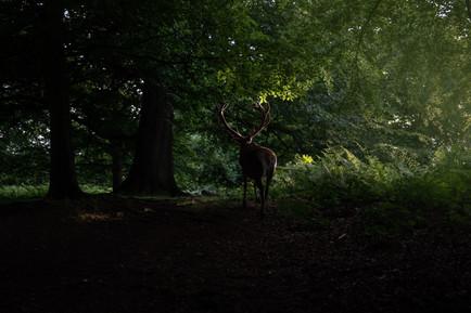 2019_Wildlife_Deer_OAR_London_014.jpg