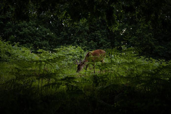 2019_Wildlife_Deer_OAR_London_009_adjust