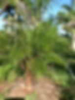 Pygmy Date sgl_0147.JPG