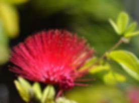 mimosa tanka .jpg
