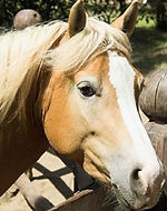 """Reference photo for custom painted horse portrait of Chance, a palomino quarter horse.  Acrylic & Pen & Ink painting on 5""""x 7"""" fine art paper by professional horse artist Fiona Purdy"""
