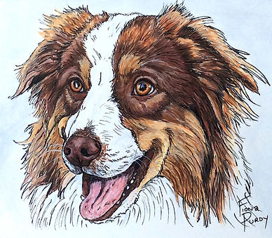 Custom painted dog portrait off Bella, an Australian Shepherd, crated by professional dog artist Fiona Purdy