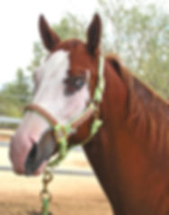 Reference photo for painted horse portrait of Lady, a quarter horse
