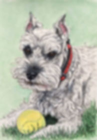 Pet portrait of Hailey a Miniature Schnauzer. Dog portraits make a one of a kind gifts for dog owners.