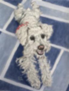 Olivia - white schnauzer portrait.jpg