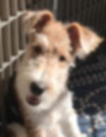 Skye - wire fox terrier ref photo,jpg.jp