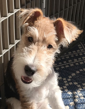 Skye - wire fox terrier ref photo,jpg.jp