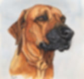 Ink and Acrylic dog portrait Rhodesian Ridgeback