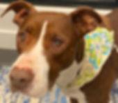 Custom painted dog portrait of Kiha a pitbull mix, painted by professional dog artist Fiona Purdy